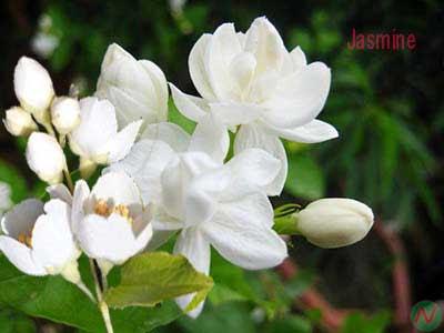 jasmine flower, jasmine