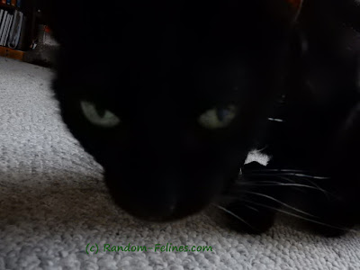black cat close up