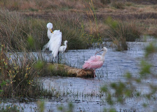 Great Egret, Snowy Egret and a Roseat Spoonbill