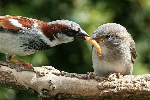 sparrow feeds baby chick with worm