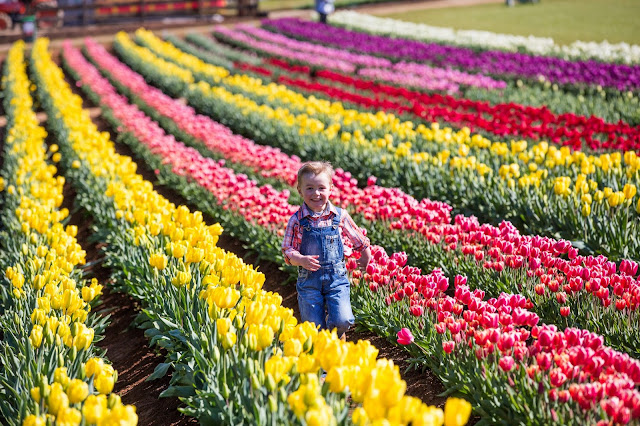 Victoria in bloom where to see flowers blooming this spring tesselaar tulip festival the tesselaar tulip festival 14 september 10 october 2017 is a colourful celebration of tulip growing visitors can witness the mightylinksfo