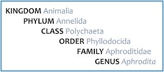 Kingdom Animalia; Phylim Annelida; Class Polychaeta; Order Phyllodocida; Family Aphroditidae; Genus Asphrodita