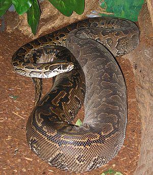 Pitón africana de las rocas Python sebae