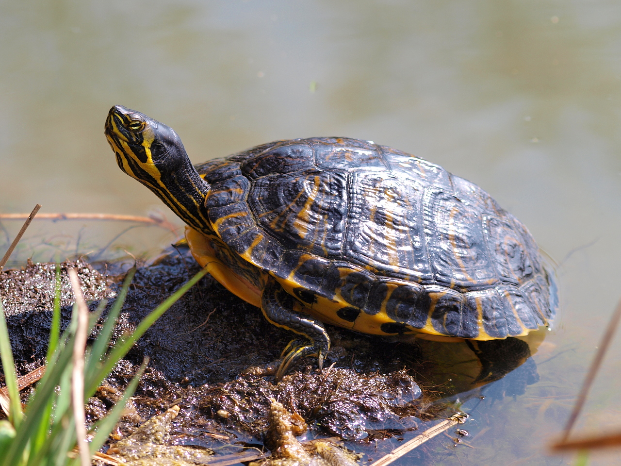Photos de louis gadzilla et raptor les tortues de floride - Bassin tortue floride strasbourg ...