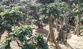 Jual Bonsai Beringin Korea Murah,Jual Tanaman Hias Murah,Tukang Taman Murah