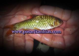 harga ikan wader per kilo