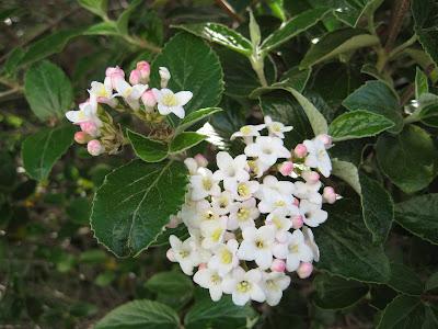 Flowering shrubs, Koreanspice Viburnum