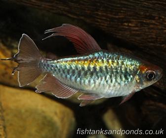 Congo Tetra Fish, Phenacogrammus Interruptus (Boulenger, 1899)