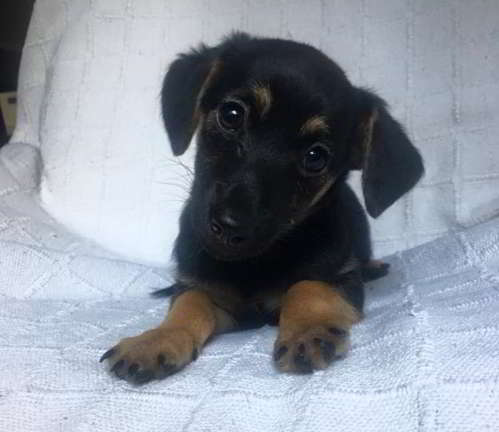 cachorra tamano pequeno