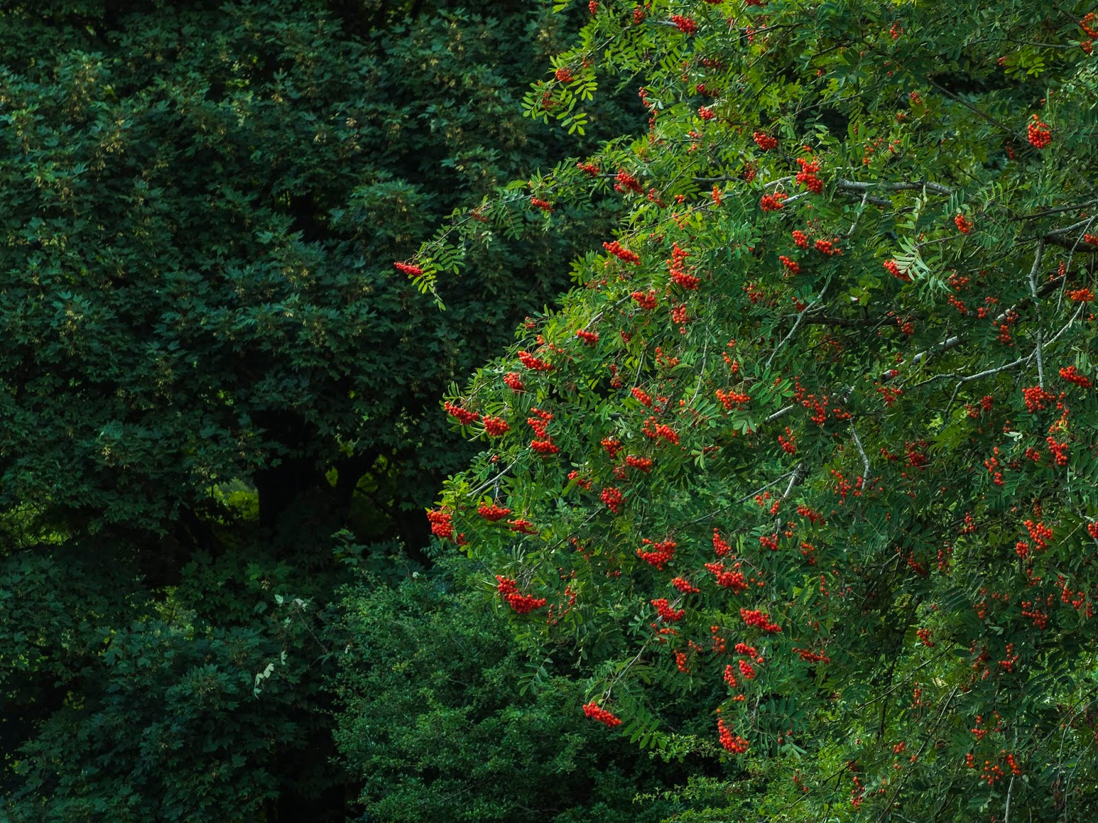 A Mountain Ash with orange berries and a Maple tree behind it.