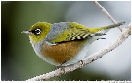 Burung Unik Mirip Angry Bird - Gaban Comel