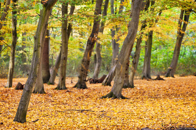 Autumn colour hangs from trees in this Hinchingbrooke Country Park woodland