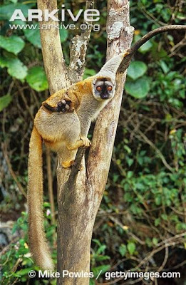 Lemur fulvus
