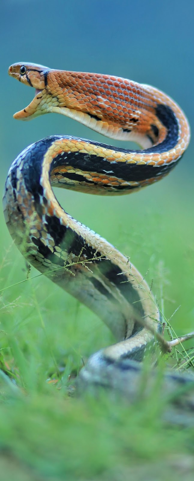 A snake in attack mode.