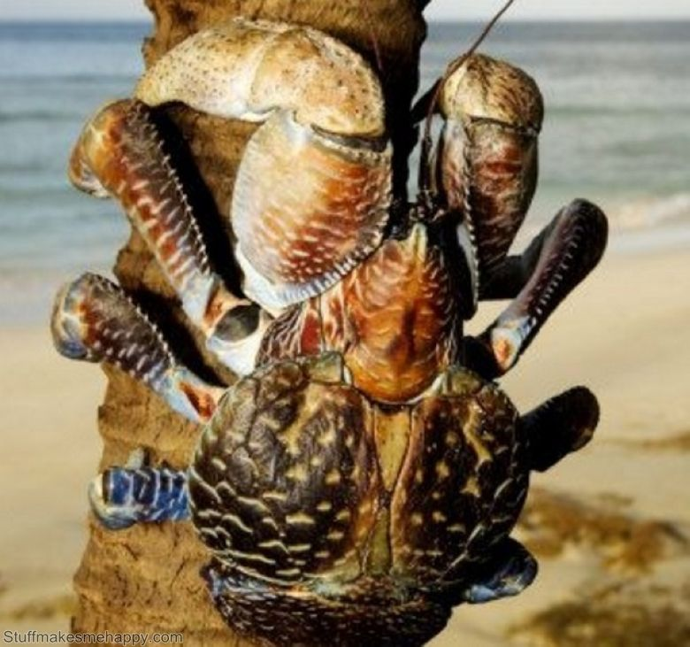 Coconut Crab. As I can not even imagine getting ...