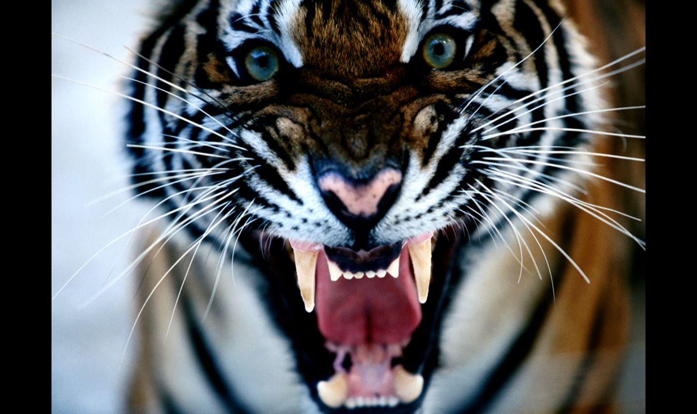 Bengal Tiger Roaring Hd Desktop Wallpapers Of High Resolution Full