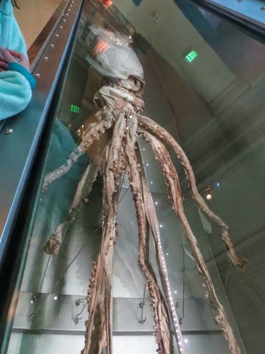 Giant Squid Natural History Museum Dc