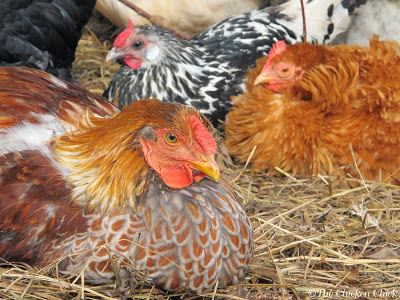 Blue laced red wyandotte