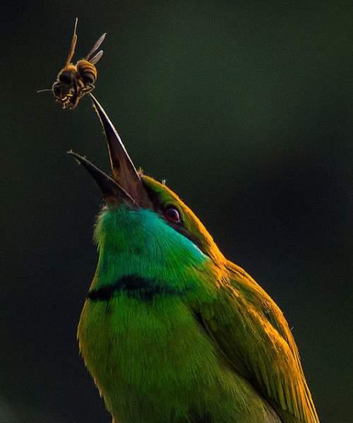 Indian birds - Asian Green bee-eater - Merops orientalis
