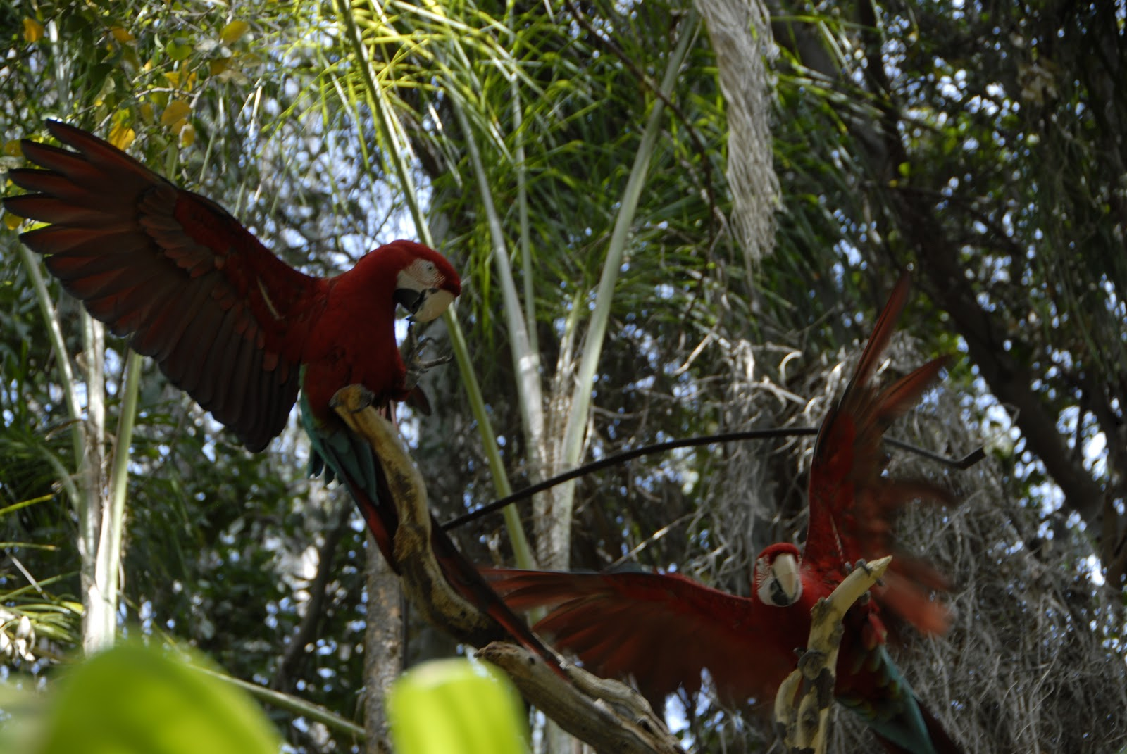 Two large red parrots