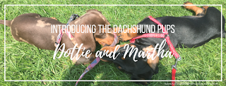 Introducing the dachshund pups, Dottie and Martha