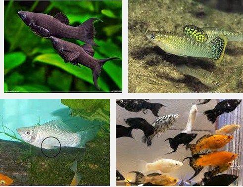 jenis ikan hias yang bisa di campur
