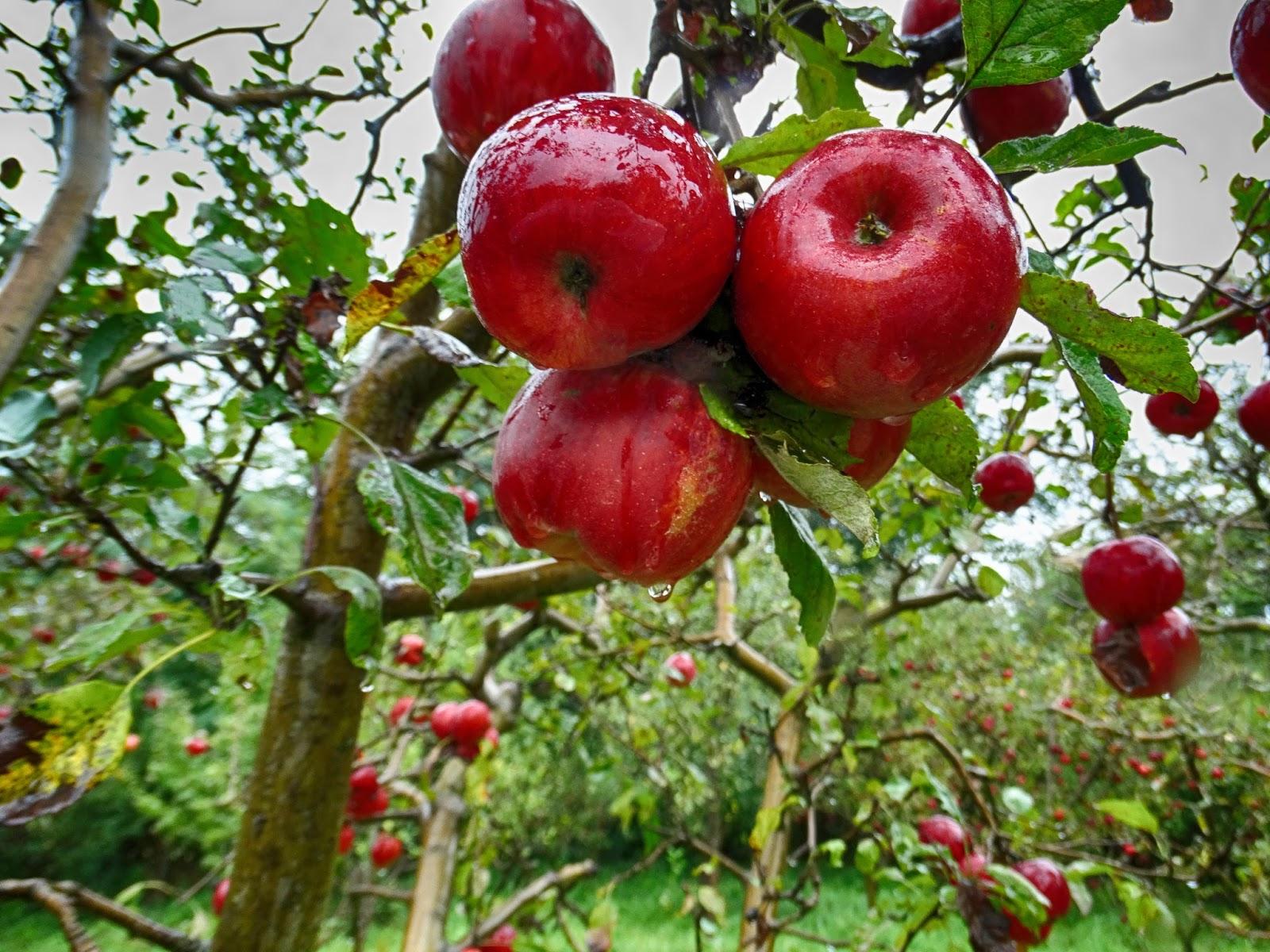 Jablíčka po dešti