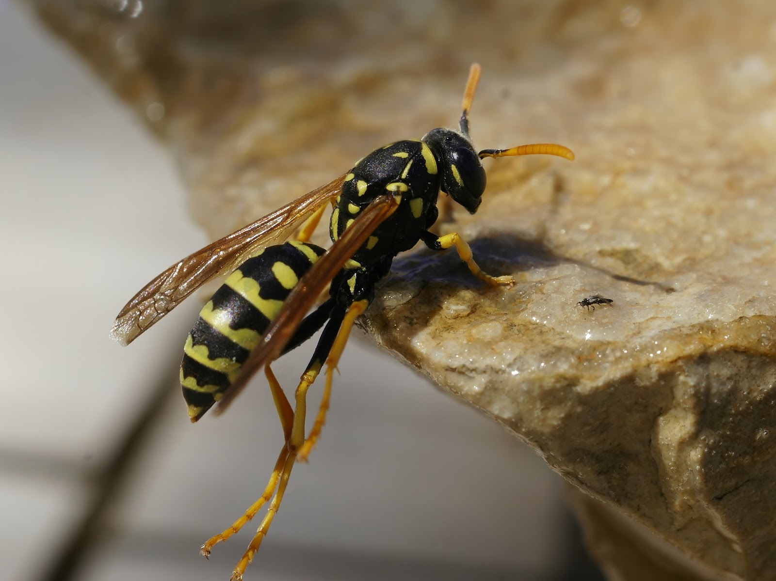 What Is The Difference Between A Yellow Jacket And A Wasp Variety of Life: Septe...
