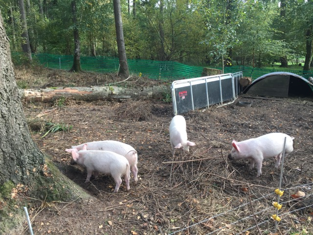 Hillier Gardens and Arboretum woodland pigs