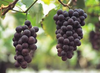 Anggur sanggup dimakan pribadi atau dipakai untuk menciptakan minuman 10 Manfaat Tak Terduga Buah Anggur Bagi Kesehatan