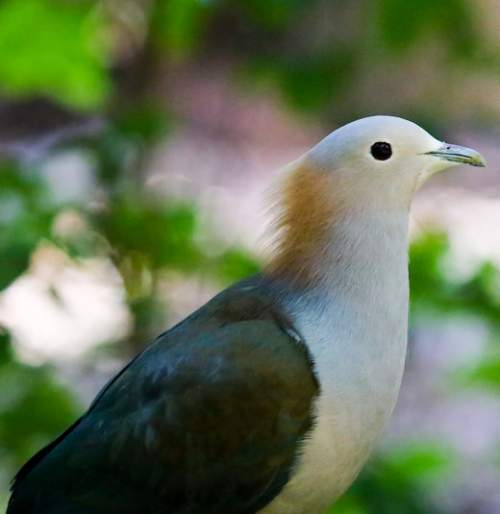 Green imperial pigeon - Ducula aenea