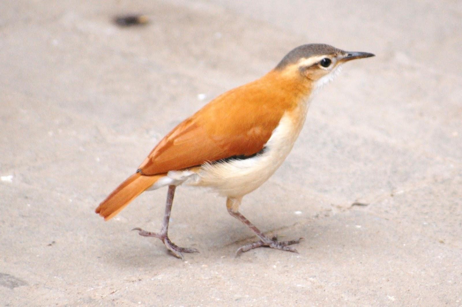 Pássaro Casaca-de-Couro-Amarelo (Furnarius leucopus)