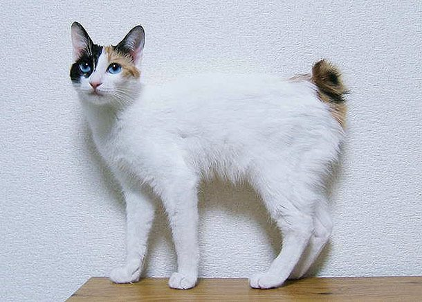 قط بوبتيل الياباني