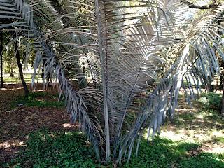 Palma de cera – ceroxylon quindiuense colombia andes tree arbol palm palma leaves