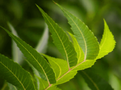 Benefits of Neem for hair, skin and health Treat Dandruff