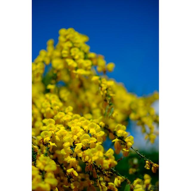 Fotografia di fiori di ginestra