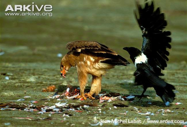 interactions between african birds