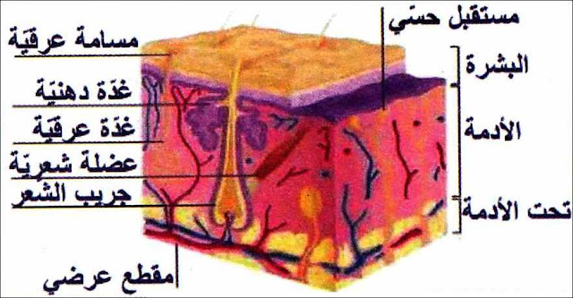 دور الجلد في حماية جسم الإنسان