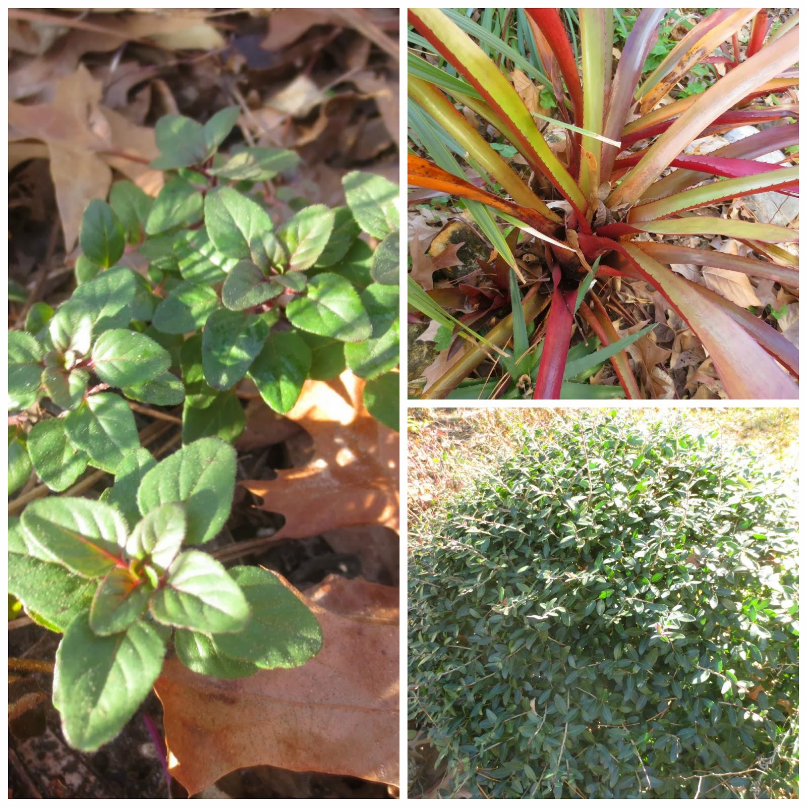 Tropical Texana: The TEXAS COTTAGE GARDEN: 50 PLANTS THAT