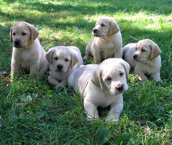 Cute Puppy Dogs: White Labrador Retriever Puppies