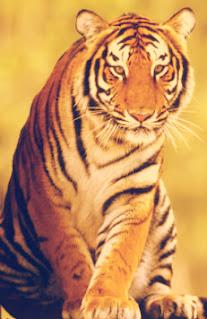 despre tigru