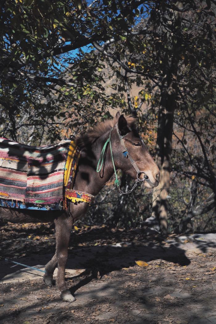 Mulet dans les rues de Imlil au Maroc