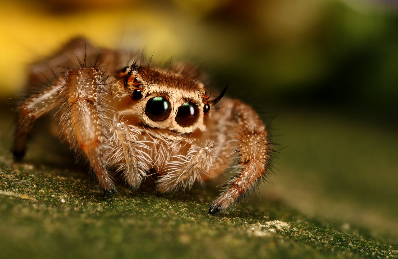 Cute Jumping Spider Wallpaper Hd Jumping Spider Wallpaper Fun Animals Wiki Videos