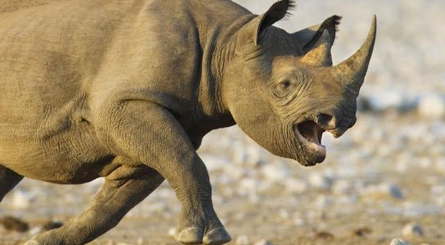 Black Rhinoceros The Biggest Animals Kingdom