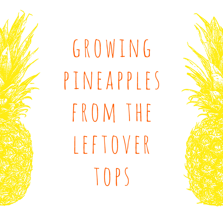 growing pineapples from the leftover tops at home