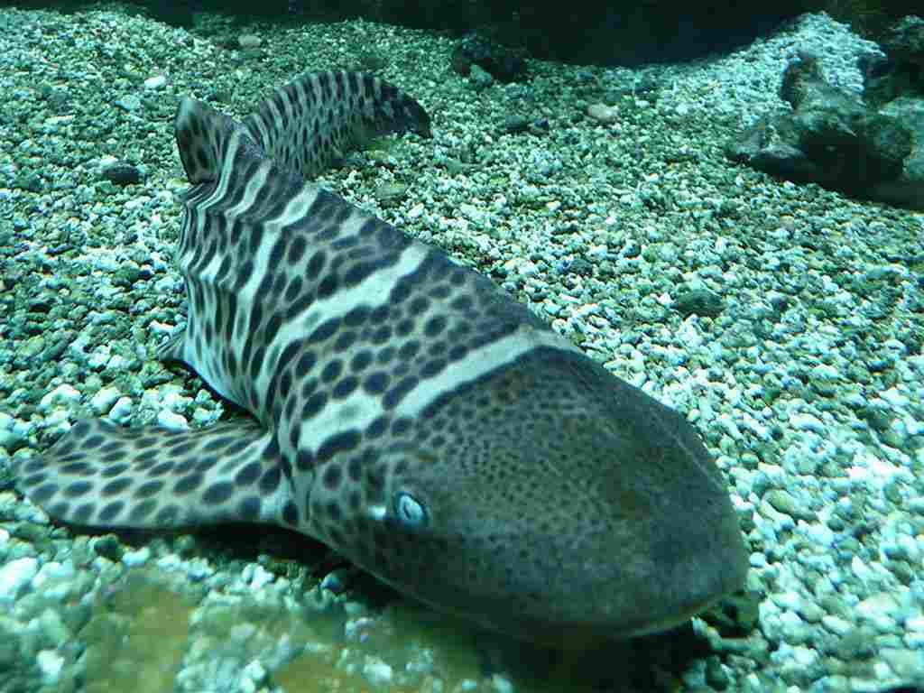 Zebra sharks facts pictures