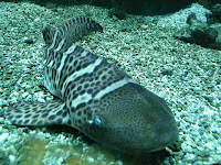 zebra shark (Stegostoma fasciatum) images