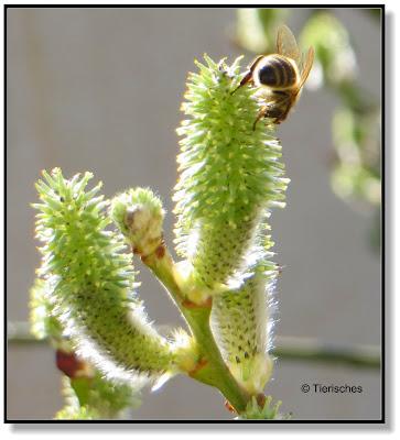 Weidenkätzchen sind eine wichtige Nahrungsquelle für Bienen, Hummeln und Schmetterlinge