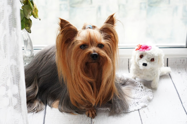 How to Care a Yorkshire Terrier - RictasBlog
