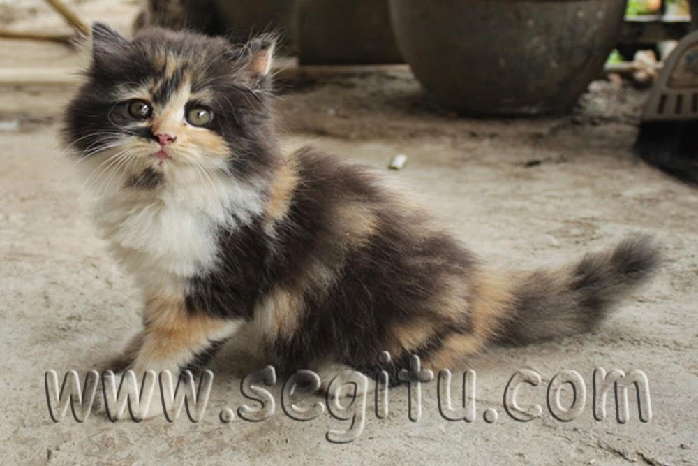 Unduh 61+  Gambar Kucing Anggora Rumahan Paling Lucu